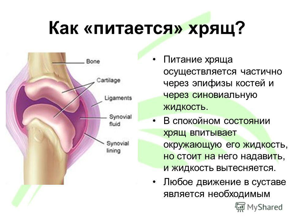 Как «питается» хрящ? Питание хряща осуществляется частично через эпифизы костей и через синовиальную жидкость. В спокойном состоянии хрящ впитывает окружающую его жидкость, но стоит на него надавить, и жидкость вытесняется. Любое движение в суставе я