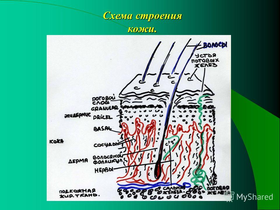 Схема строения кожи.