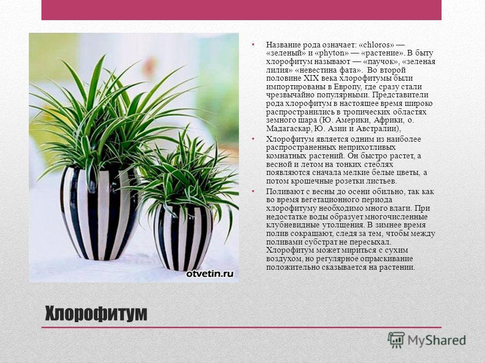 Хлорофитум Название рода означает: «chloros» «зеленый» и «phyton» «растение». В быту хлорофитум называют «паучок», «зеленая лилия» «невестина фата». Во второй половине XIX века хлорофитумы были импортированы в Европу, где сразу стали чрезвычайно попу