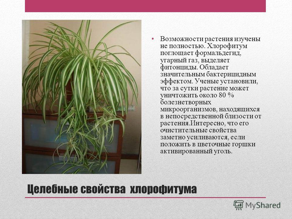 Целебные свойства хлорофитума Возможности растения изучены не полностью. Хлорофитум поглощает формальдегид, угарный газ, выделяет фитонциды. Обладает значительным бактерицидным эффектом. Ученые установили, что за сутки растение может уничтожить около