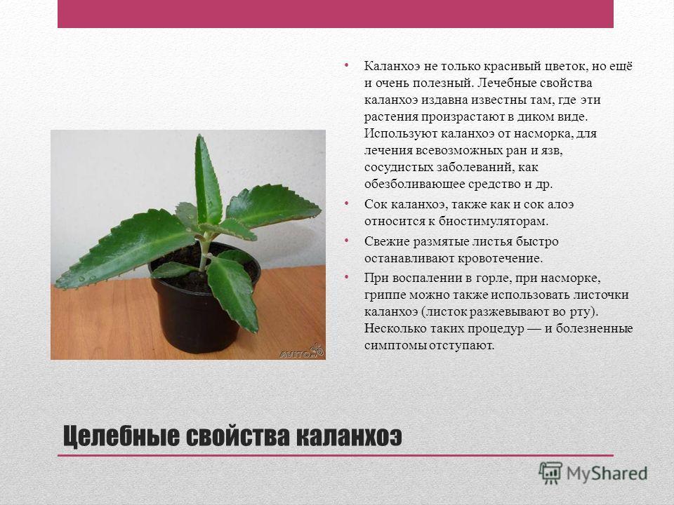 цветок каланхоэ  лечебные свойства