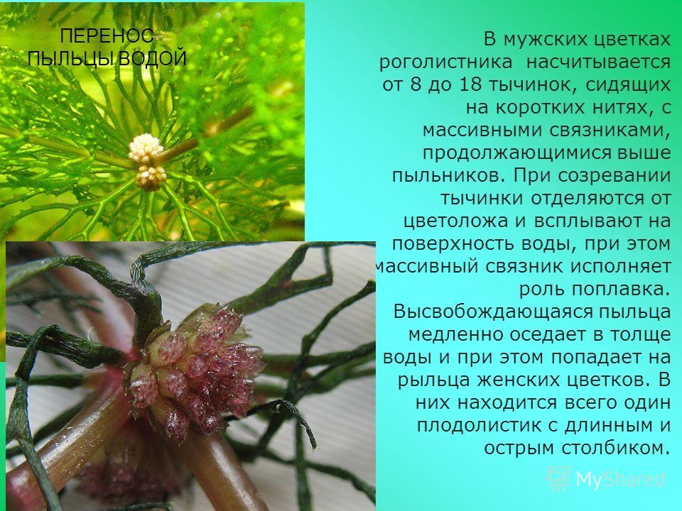 ПЕРЕНОС ПЫЛЬЦЫ ВОДОЙ В мужских цветках роголистника насчитывается от 8 до 18 тычинок, сидящих на коротких нитях, с массивными связниками, продолжающимися выше пыльников. При созревании тычинки отделяются от цветоложа и всплывают на поверхность воды,