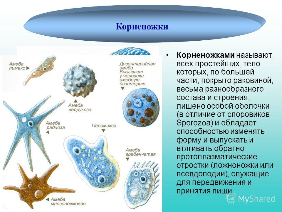 Корненожки Корненожками называют всех простейших, тело которых, по большей части, покрыто раковиной, весьма разнообразного состава и строения, лишено особой оболочки (в отличие от споровиков Sporozoa) и обладает способностью изменять форму и выпускат