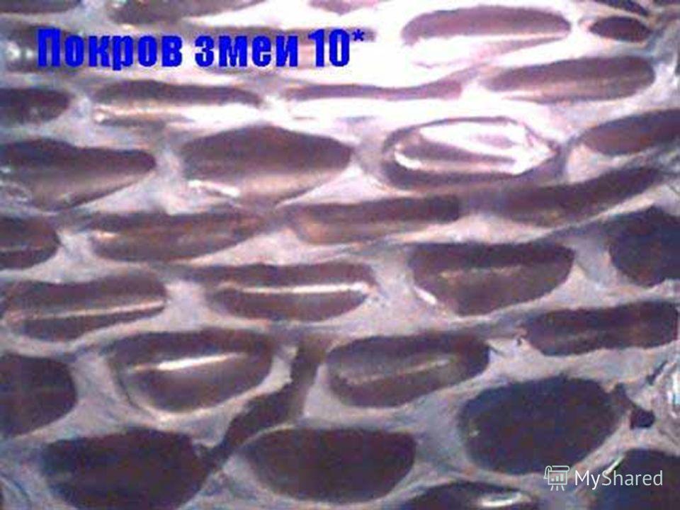 Фотография покрова змеи (10*)