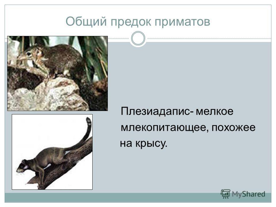 Общий предок приматов Плезиадапис- мелкое млекопитающее, похожее на крысу.