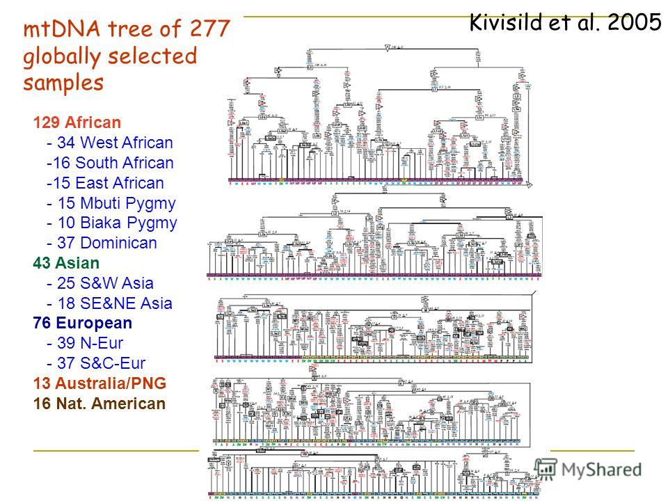 mtDNA tree of 277 globally selected samples 129 African - 34 West African -16 South African -15 East African - 15 Mbuti Pygmy - 10 Biaka Pygmy - 37 Dominican 43 Asian - 25 S&W Asia - 18 SE&NE Asia 76 European - 39 N-Eur - 37 S&C-Eur 13 Australia/PNG
