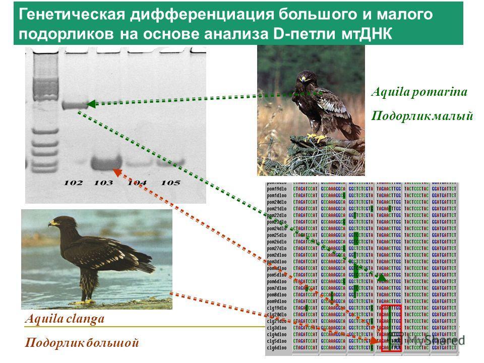 Aquila pomarina Подорлик малый Aquila clanga Подорлик большой Генетическая дифференциация большого и малого подорликов на основе анализа D-петли мтДНК