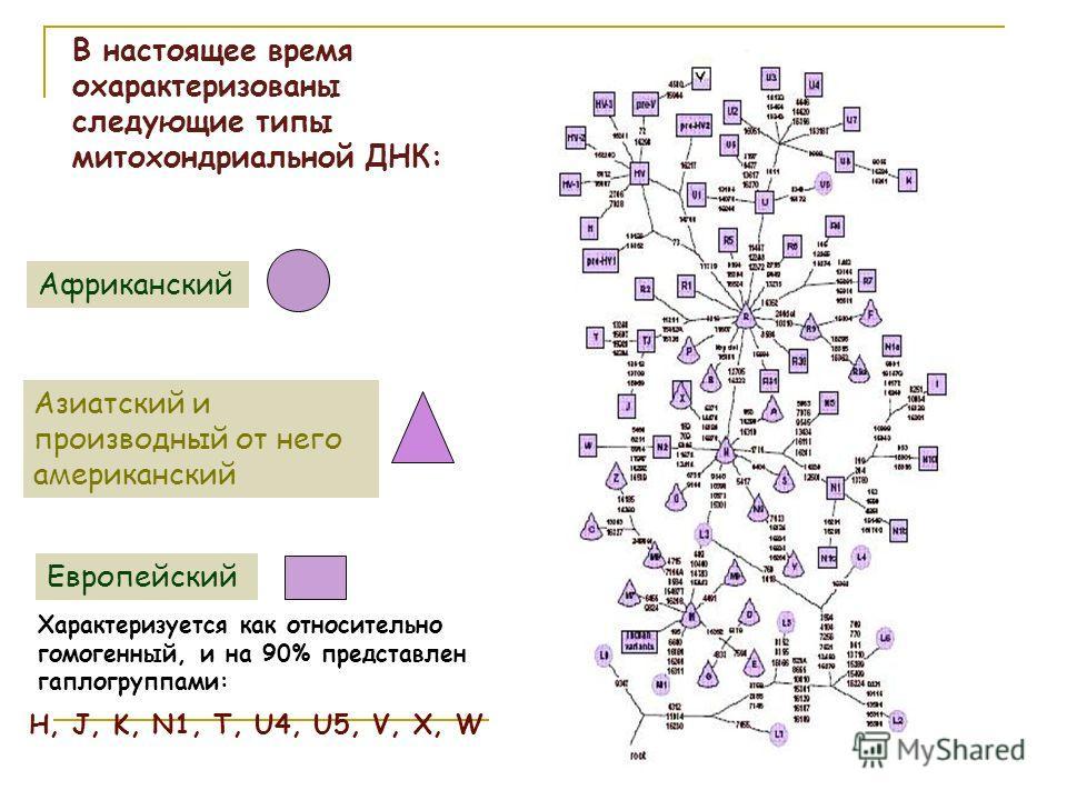 В настоящее время охарактеризованы следующие типы митохондриальной ДНК: Африканский Азиатский и производный от него американский Европейский Характеризуется как относительно гомогенный, и на 90% представлен гаплогруппами: H, J, K, N1, T, U4, U5, V, X