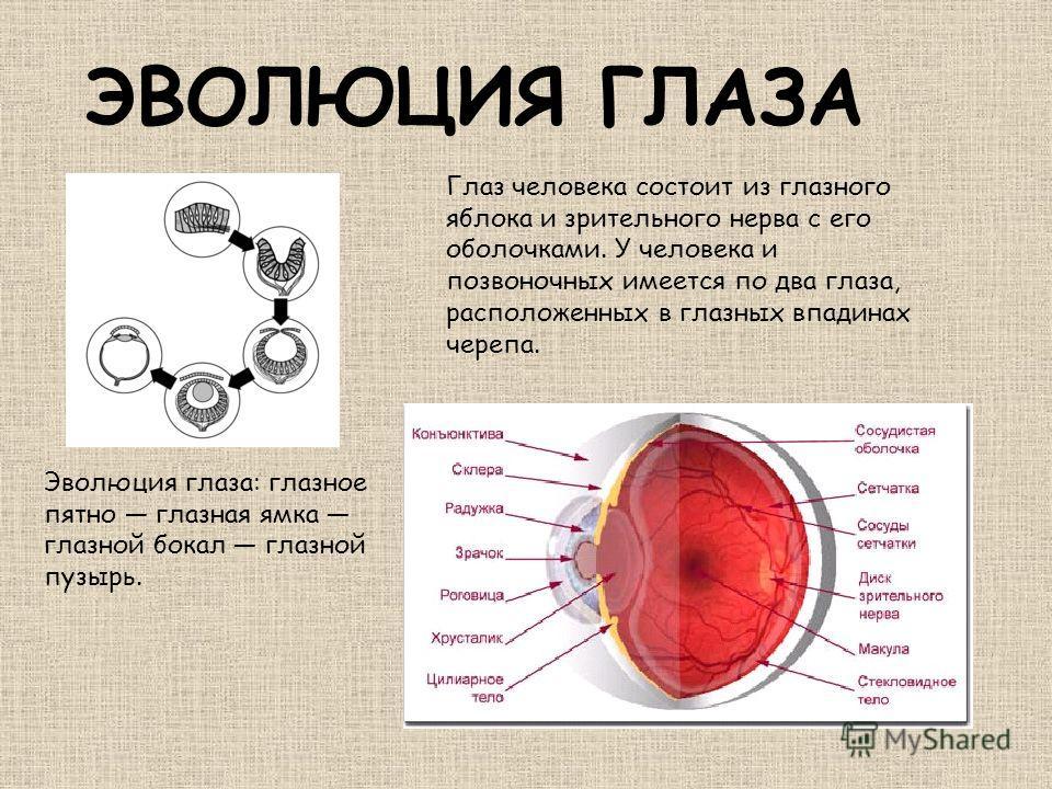 ЭВОЛЮЦИЯ ГЛАЗА Эволюция глаза: глазное пятно глазная ямка глазной бокал глазной пузырь. Глаз человека состоит из глазного яблока и зрительного нерва с его оболочками. У человека и позвоночных имеется по два глаза, расположенных в глазных впадинах чер