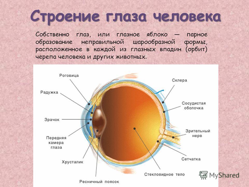 Строение глаза человека Собственно глаз, или глазное яблоко парное образование неправильной шарообразной формы, расположенное в каждой из глазных впадин (орбит) черепа человека и других животных.