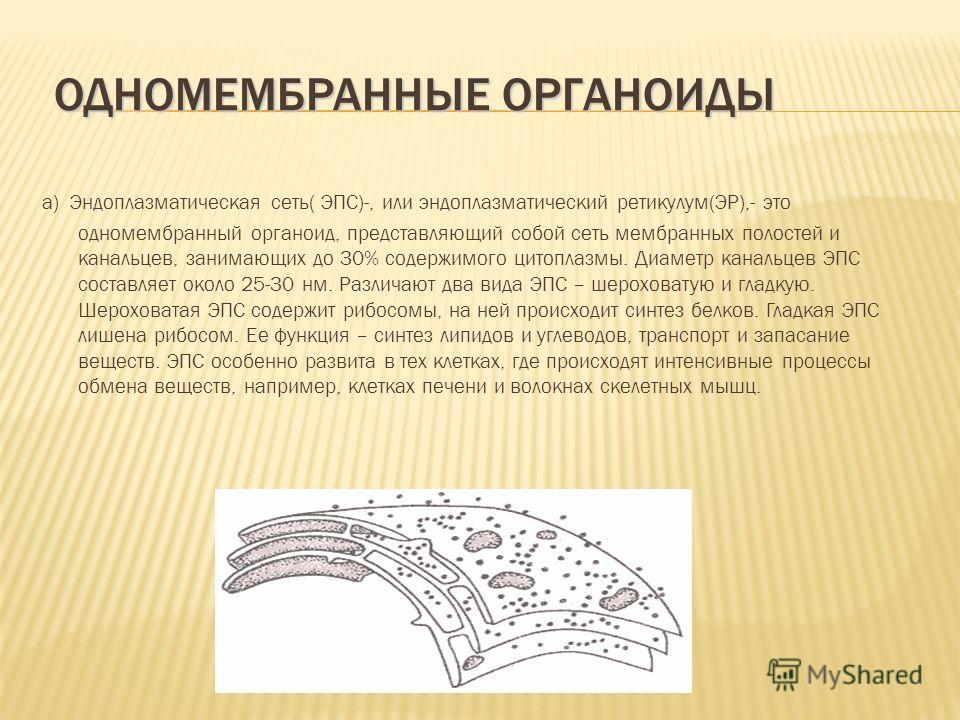 a) Эндоплазматическая сеть( ЭПС)-, или эндоплазматический ретикулум(ЭР),- это одномембранный органоид, представляющий собой сеть мембранных полостей и канальцев, занимающих до 30% содержимого цитоплазмы. Диаметр канальцев ЭПС составляет около 25-30 н