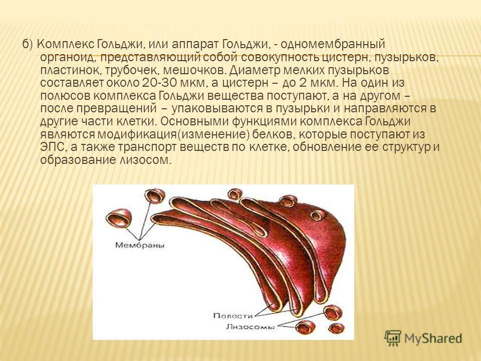 б) Комплекс Гольджи, или аппарат Гольджи, - одномембранный органоид, представляющий собой совокупность цистерн, пузырьков, пластинок, трубочек, мешочков. Диаметр мелких пузырьков составляет около 20-30 мкм, а цистерн – до 2 мкм. На один из полюсов ко