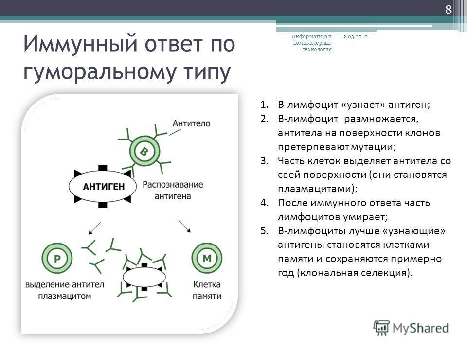 Иммунный ответ по гуморальному типу 1.В-лимфоцит «узнает» антиген; 2.В-лимфоцит размножается, антитела на поверхности клонов претерпевают мутации; 3.Часть клеток выделяет антитела со свей поверхности (они становятся плазмацитами); 4.После иммунного о