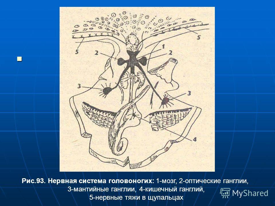 Рис.93. Нервная система головоногих: 1-мозг, 2-оптические ганглии, 3-мантийные ганглии, 4-кишечный ганглий, 5-нервные тяжи в щупальцах