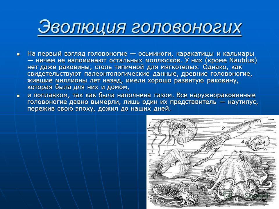 Эволюция головоногих На первый взгляд головоногие осьминоги, каракатицы и кальмары ничем не напоминают остальных моллюсков. У них (кроме Nautilus) нет даже раковины, столь типичной для мягкотелых. Однако, как свидетельствуют палеонтологические данные