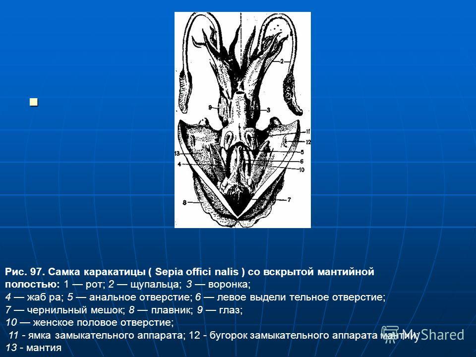 Рис. 97. Самка каракатицы ( Sepia offici nalis ) со вскрытой мантийной полостью: 1 рот; 2 щупальца; 3 воронка; 4 жаб ра; 5 анальное отверстие; 6 левое выдели тельное отверстие; 7 чернильный мешок; 8 плавник; 9 глаз; 10 женское половое отверстие; 11