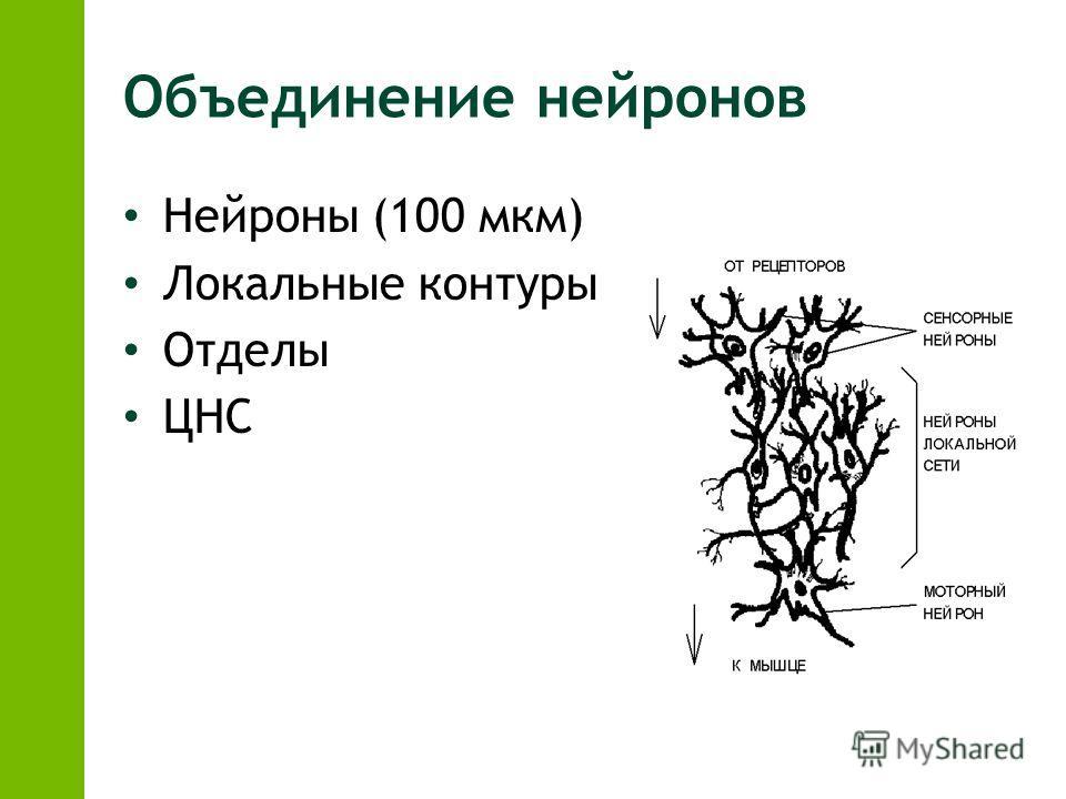Объединение нейронов Нейроны (100 мкм) Локальные контуры Отделы ЦНС