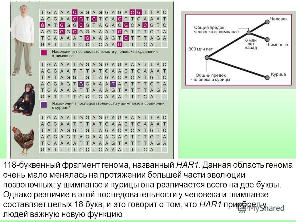 118-буквенный фрагмент генома, названный HAR1. Данная область генома очень мало менялась на протяжении большей части эволюции позвоночных: у шимпанзе и курицы она различается всего на две буквы. Однако различие в этой последовательности у человека и