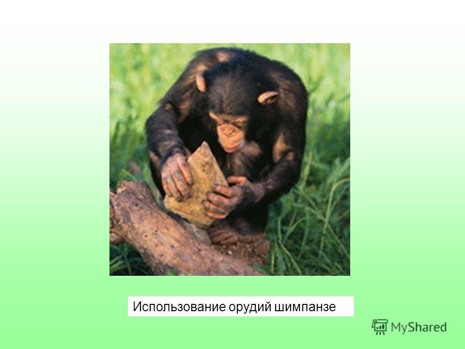 Использование орудий шимпанзе