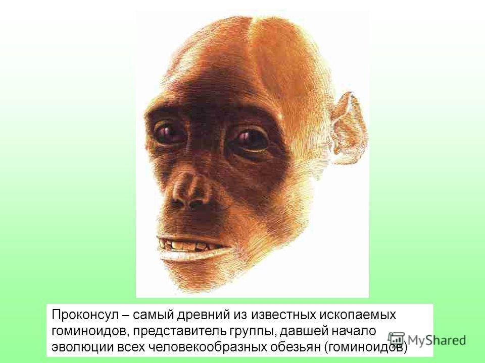 Проконсул – самый древний из известных ископаемых гоминоидов, представитель группы, давшей начало эволюции всех человекообразных обезьян (гоминоидов)