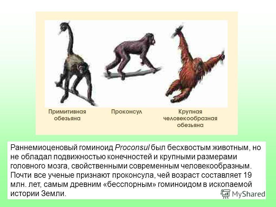 Раннемиоценовый гоминоид Proconsul был бесхвостым животным, но не обладал подвижностью конечностей и крупными размерами головного мозга, свойственными современным человекообразным. Почти все ученые признают проконсула, чей возраст составляет 19 млн.