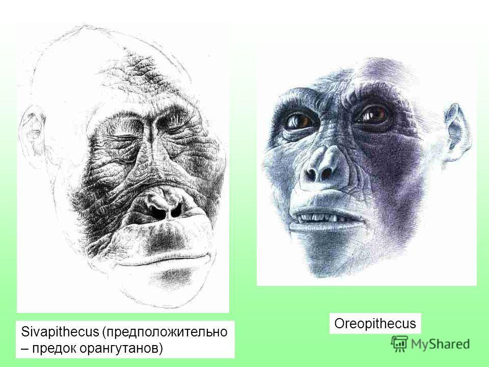Sivapithecus (предположительно – предок орангутанов) Oreopithecus