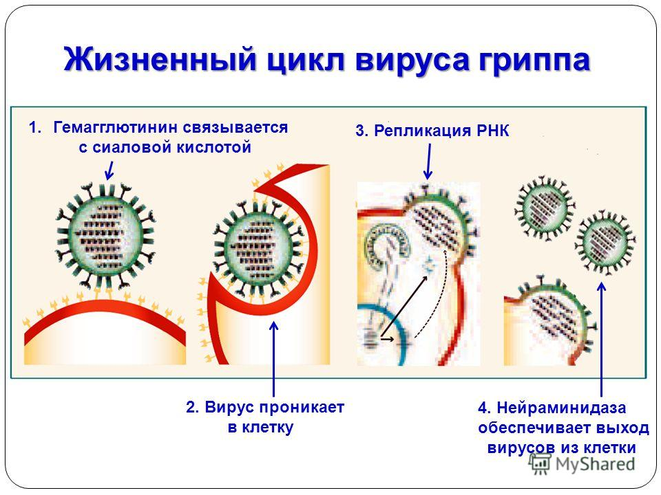 Жизненный цикл вируса гриппа гриппа 1.Гемагглютинин связывается с сиаловой кислотой 2. Вирус проникает в клетку 3. Репликация РНК 4. Нейраминидаза обеспечивает выход вирусов из клетки