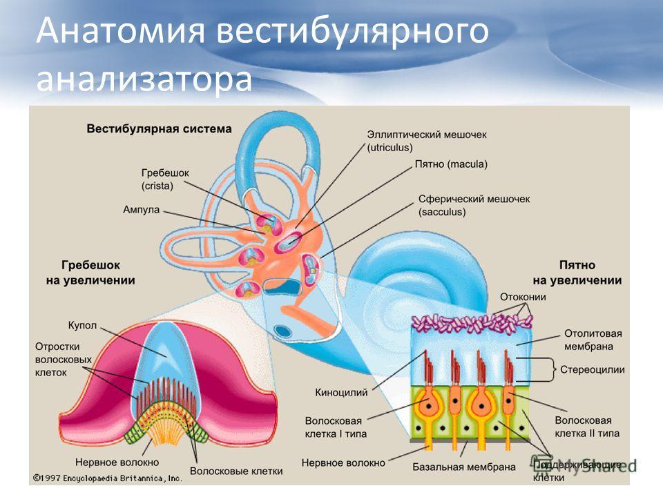 Анатомия вестибулярного анализатора