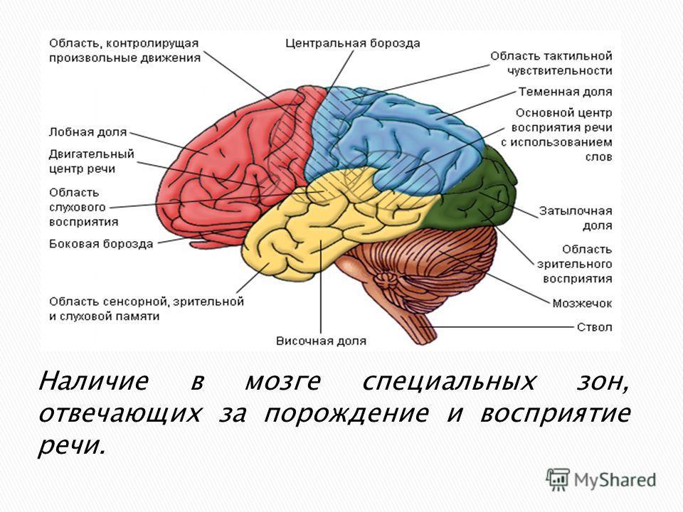 Наличие в мозге специальных зон, отвечающих за порождение и восприятие речи.