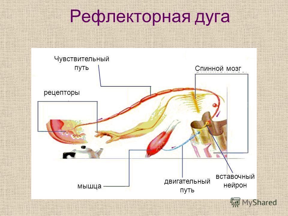 Рефлекторная дуга Чувствительный путь Спинной мозг рецепторы двигательный путь мышца вставочный нейрон