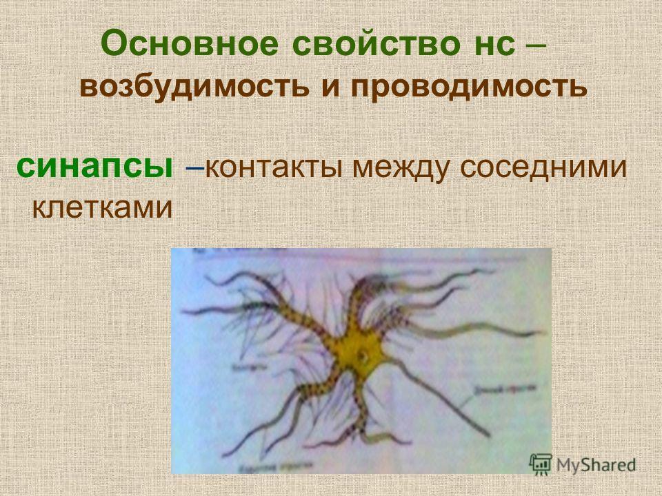 Основное свойство нс – синапсы –контакты между соседними клетками возбудимость и проводимость