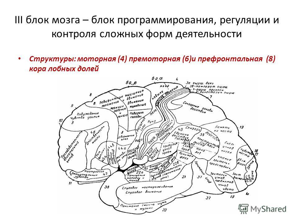 III блок мозга – блок программирования, регуляции и контроля сложных форм деятельности Структуры: моторная (4) премоторная (6)и префронтальная (8) кора лобных долей