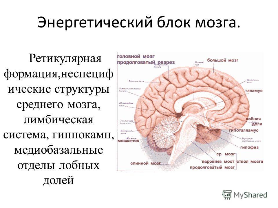 Энергетический блок мозга. Ретикулярная формация,неспециф ические структуры среднего мозга, лимбическая система, гиппокамп, медиобазальные отделы лобных долей