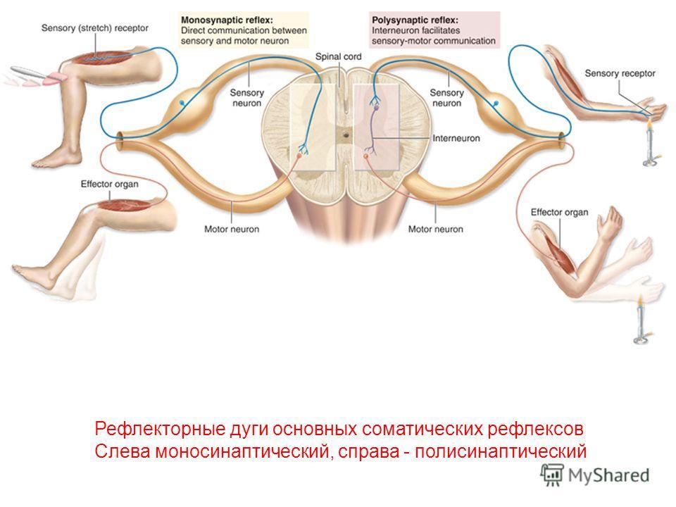 Рефлекторные дуги основных соматических рефлексов Слева моносинаптический, справа - полисинаптический