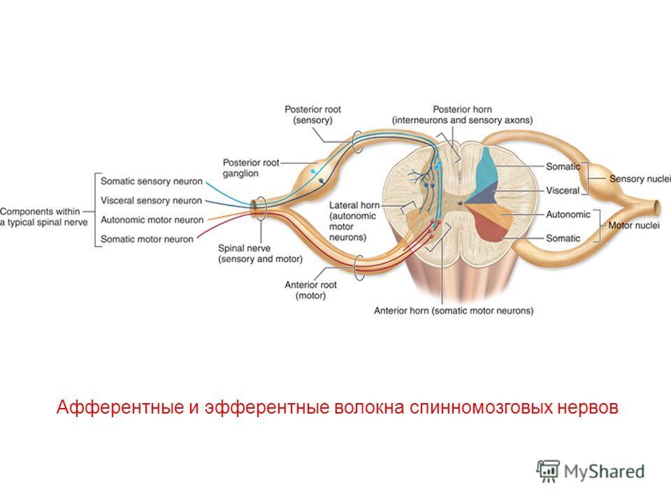 Афферентные и эфферентные волокна спинномозговых нервов