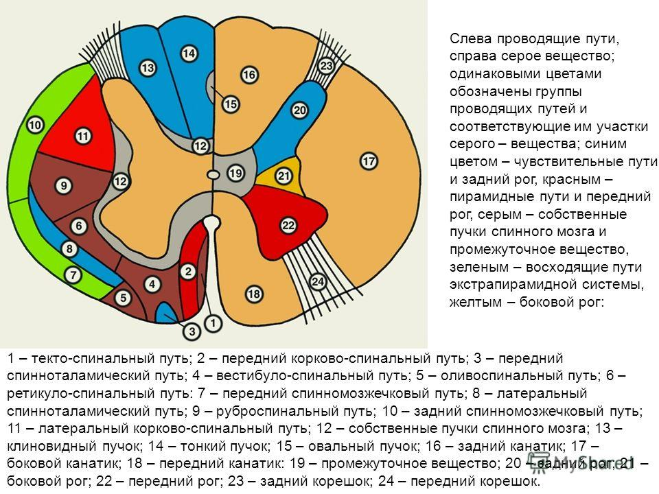 spinal cord thesis