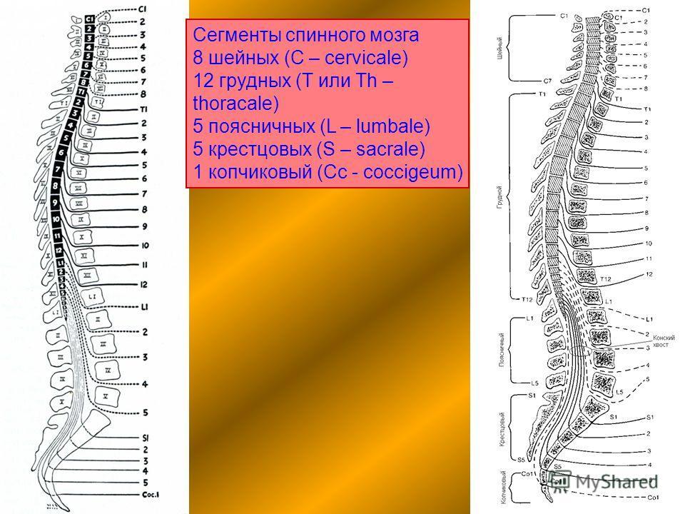 Сегменты спинного мозга 8 шейных (C – cervicale) 12 грудных (T или Th – thoracale) 5 поясничных (L – lumbale) 5 крестцовых (S – sacrale) 1 копчиковый (Сс - coccigeum)