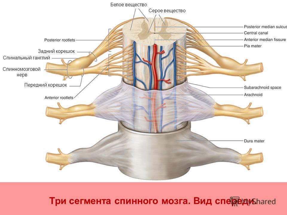 Три сегмента спинного мозга. Вид спереди. Спинномозговой нерв Задний корешок Спинальный ганглий Белое вещество Передний корешок Серое вещество