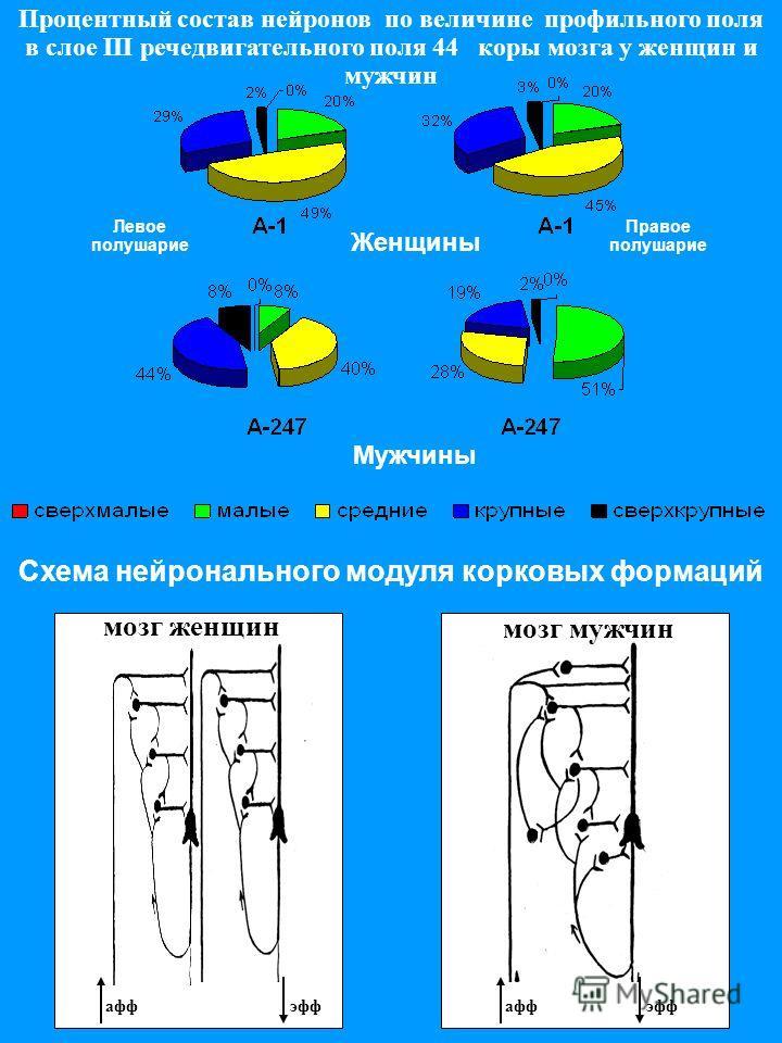 Схема нейронального модуля корковых формаций Женщины Мужчины Процентный состав нейронов по величине профильного поля в слое III речедвигательного поля 44 коры мозга у женщин и мужчин aфф мозг женщин мозг мужчин эффaффэфф Левое полушарие Правое полуша