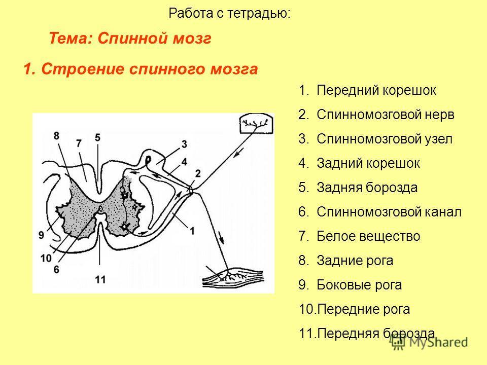 Тема: Спинной мозг Работа с тетрадью: 1.Строение спинного мозга 1.Передний корешок 2.Спинномозговой нерв 3.Спинномозговой узел 4.Задний корешок 5.Задняя борозда 6.Спинномозговой канал 7.Белое вещество 8.Задние рога 9.Боковые рога 10.Передние рога 11.