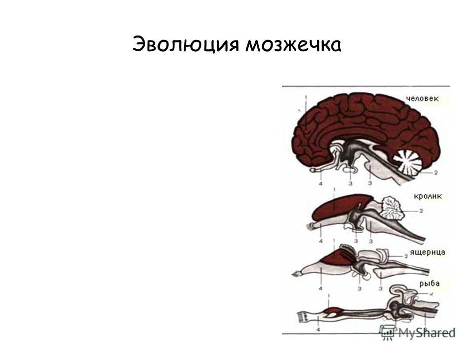 Эволюция мозжечка