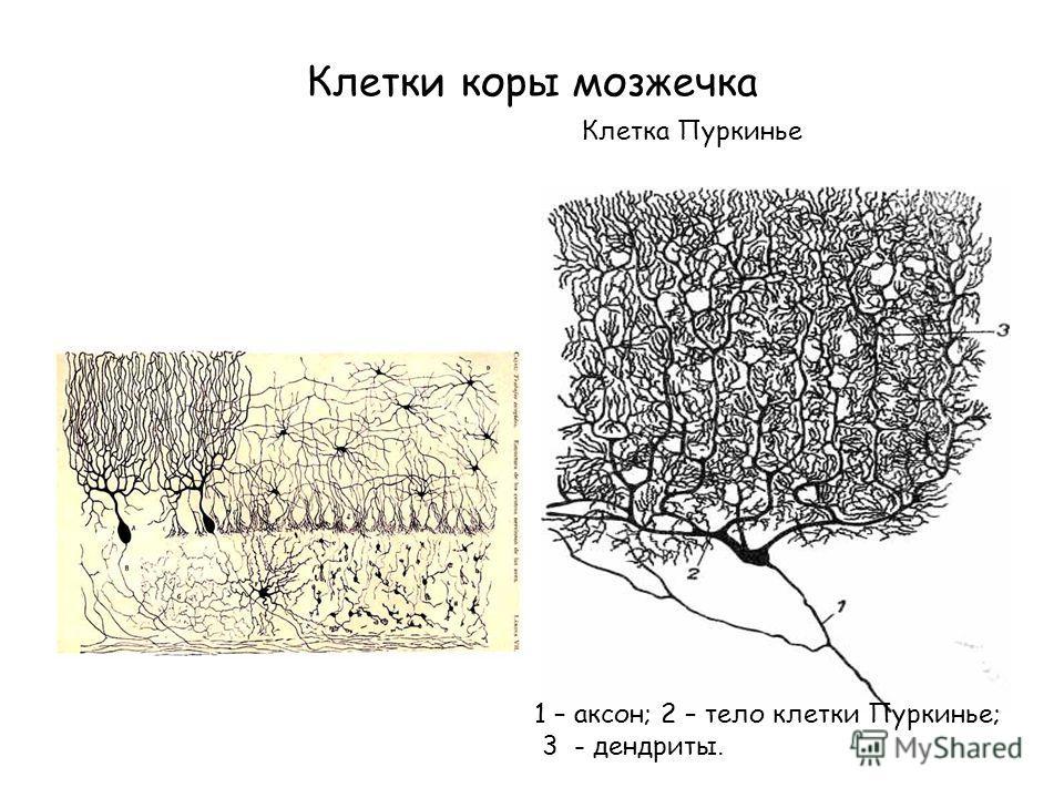 Клетки коры мозжечка Клетка Пуркинье 1 – аксон; 2 – тело клетки Пуркинье; 3 - дендриты.
