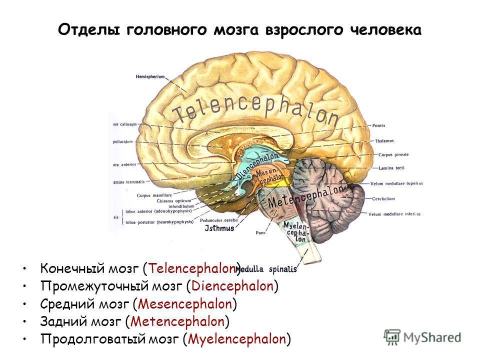 Отделы головного мозга взрослого человека Конечный мозг (Telencephalon) Промежуточный мозг (Diencephalon) Средний мозг (Mesencephalon) Задний мозг (Metencephalon) Продолговатый мозг (Myelencephalon)