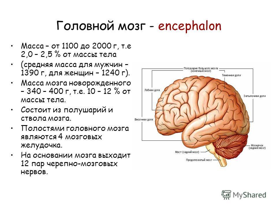 Головной мозг - encephalon Масса – от 1100 до 2000 г, т.е 2,0 – 2,5 % от массы тела (средняя масса для мужчин – 1390 г, для женщин – 1240 г). Масса мозга новорожденного – 340 – 400 г, т.е. 10 – 12 % от массы тела. Состоит из полушарий и ствола мозга.