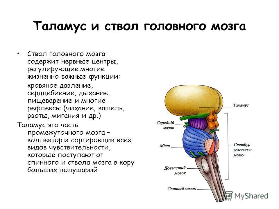 Таламус и ствол головного мозга Ствол головного мозга содержит нервные центры, регулирующие многие жизненно важные функции: кровяное давление, сердцебиение, дыхание, пищеварение и многие рефлексы (чихание, кашель, рвоты, мигания и др.) Таламус это ча