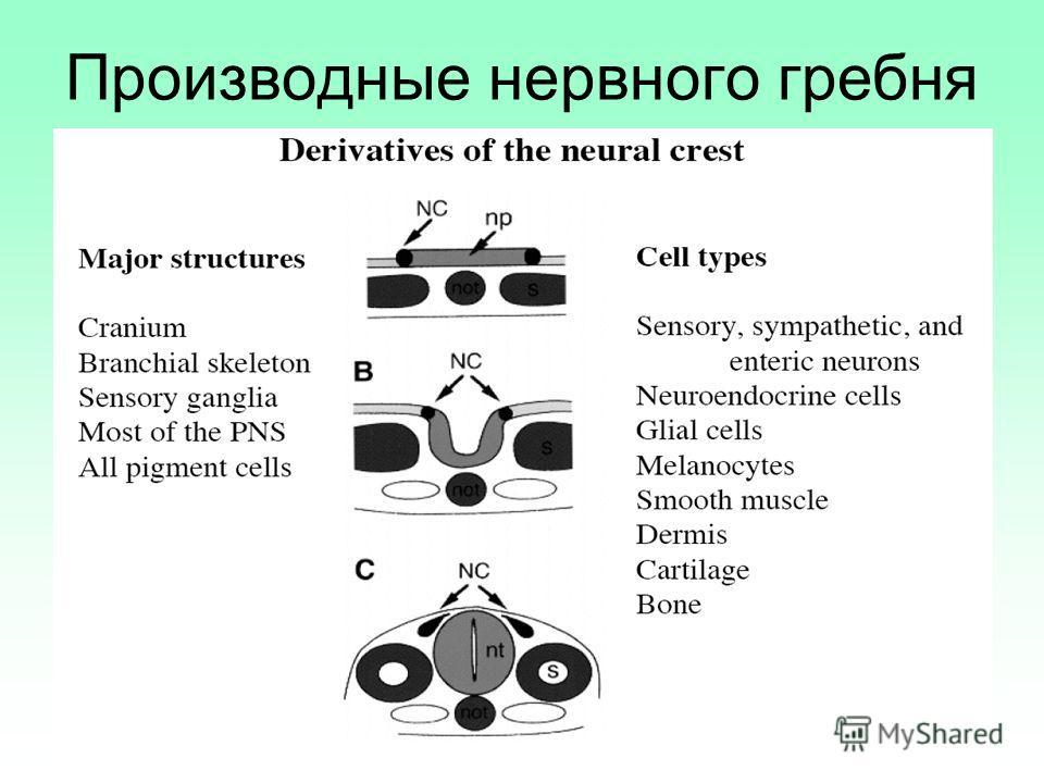 Производные нервного гребня