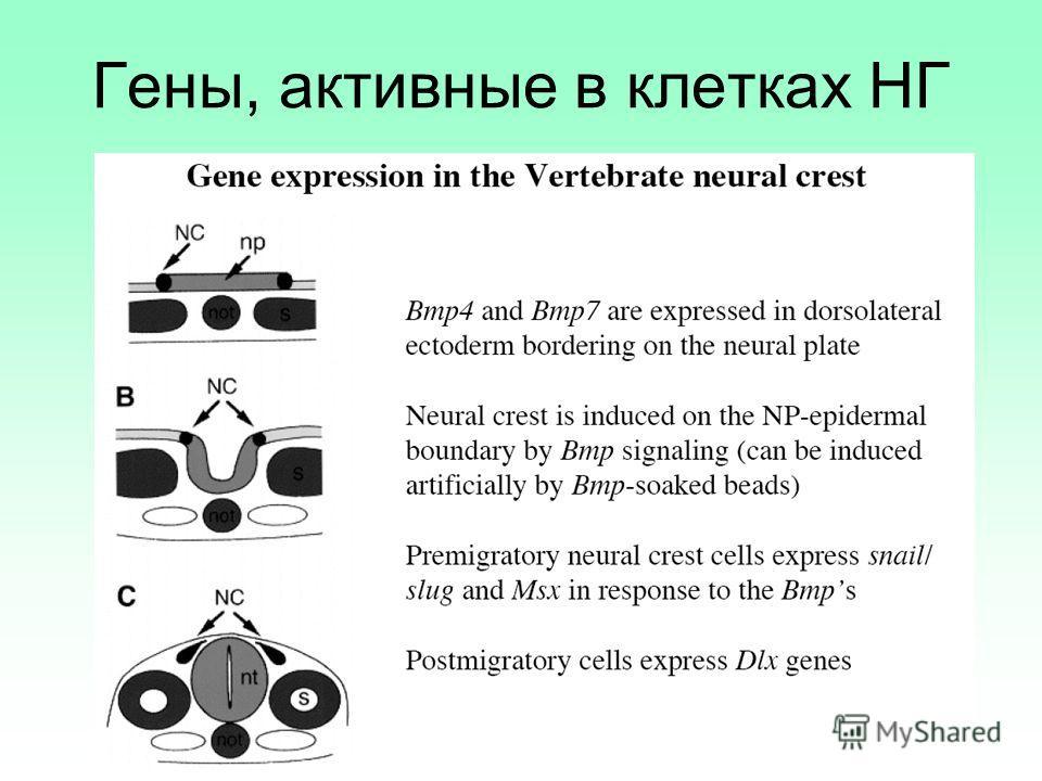 Гены, активные в клетках НГ