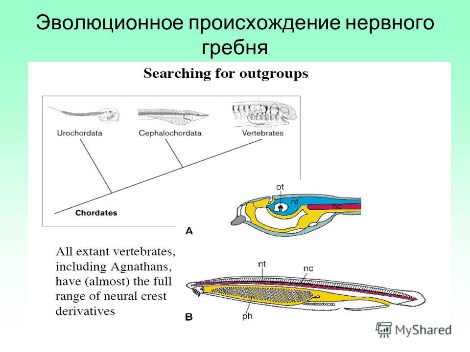Эволюционное происхождение нервного гребня