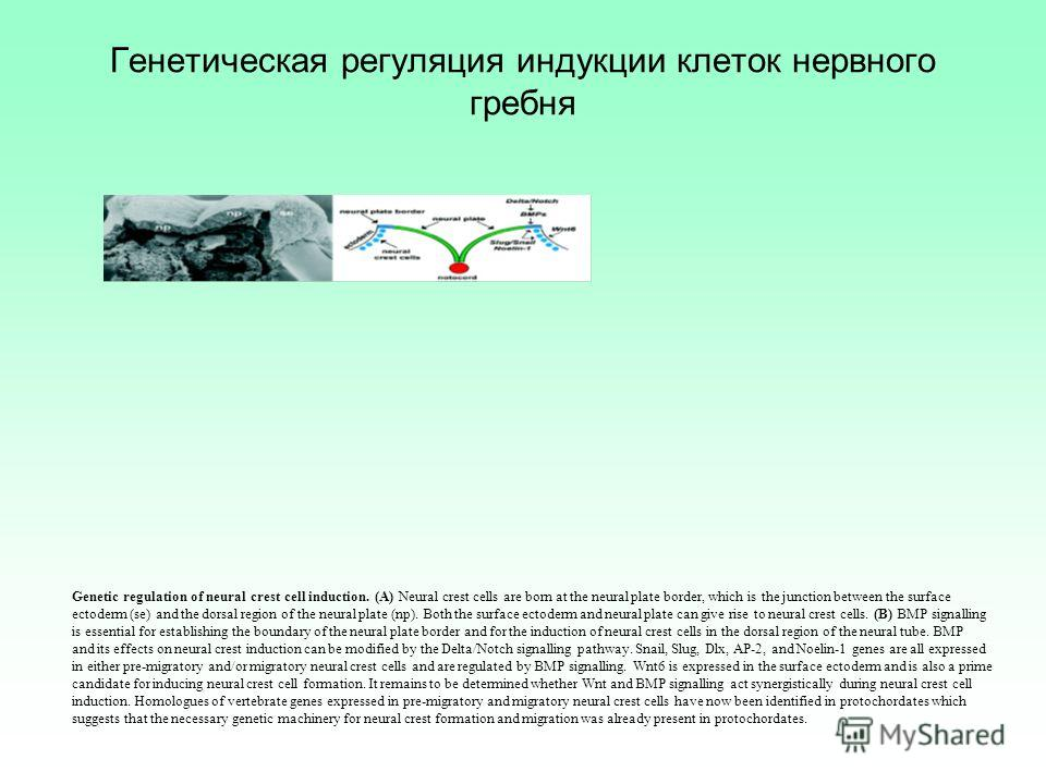 Генетическая регуляция индукции клеток нервного гребня Genetic regulation of neural crest cell induction. (A) Neural crest cells are born at the neural plate border, which is the junction between the surface ectoderm (se) and the dorsal region of the