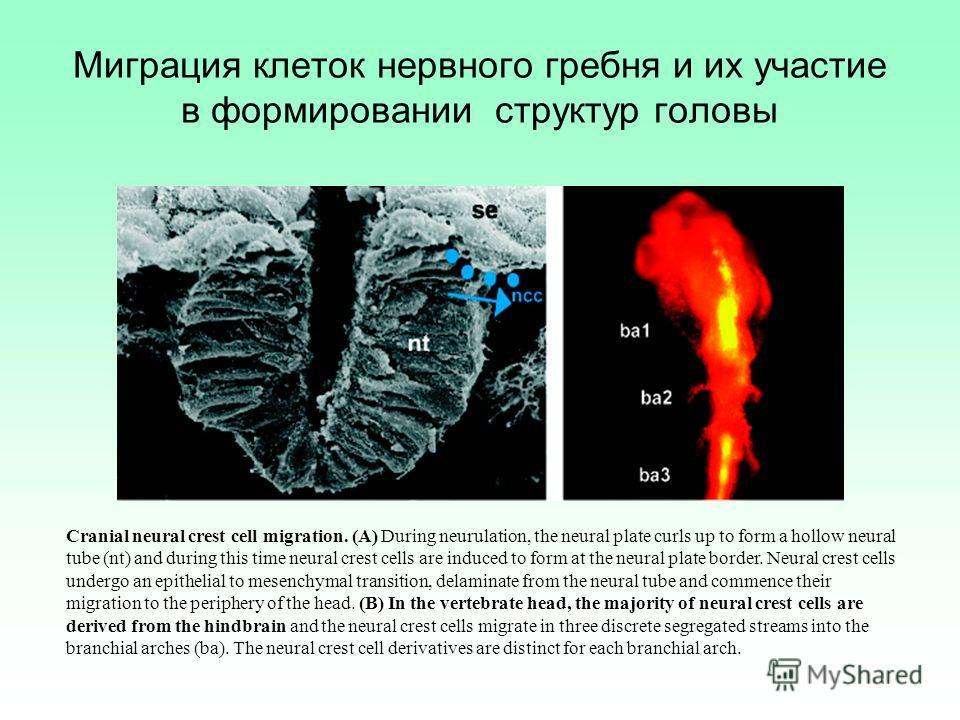 Миграция клеток нервного гребня и их участие в формировании структур головы Cranial neural crest cell migration. (A) During neurulation, the neural plate curls up to form a hollow neural tube (nt) and during this time neural crest cells are induced t